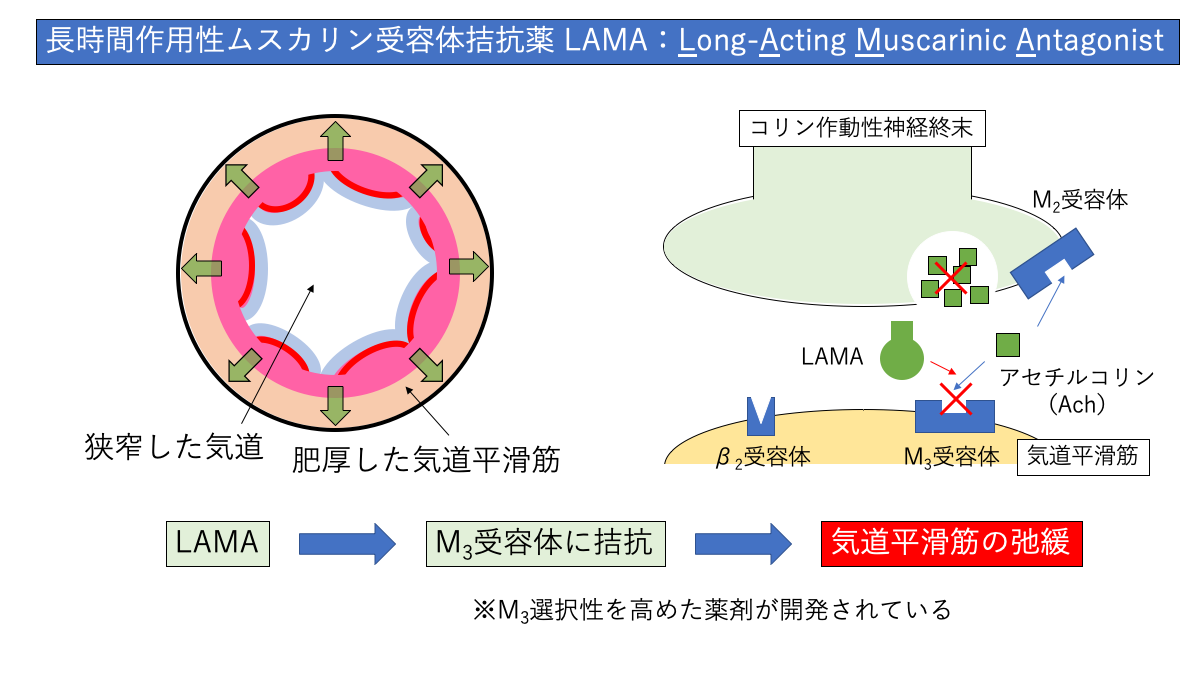 LAMAの作用機序