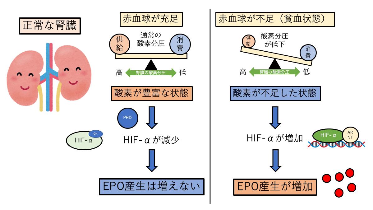 正常な腎臓でのEPO産生調節
