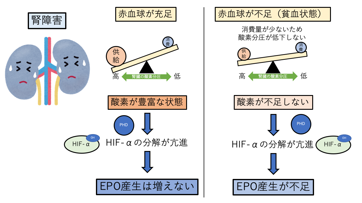 腎障害時のEPO産生調節
