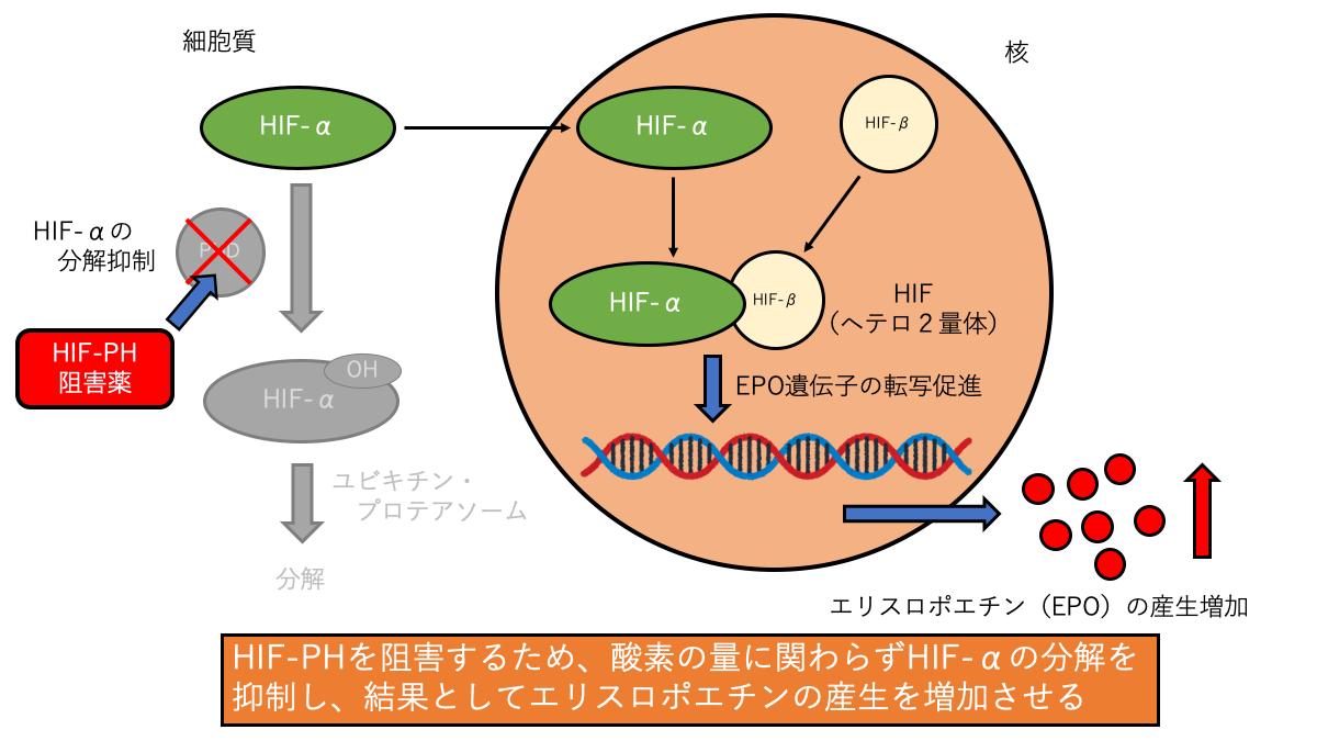 HIF-PHIの作用機序