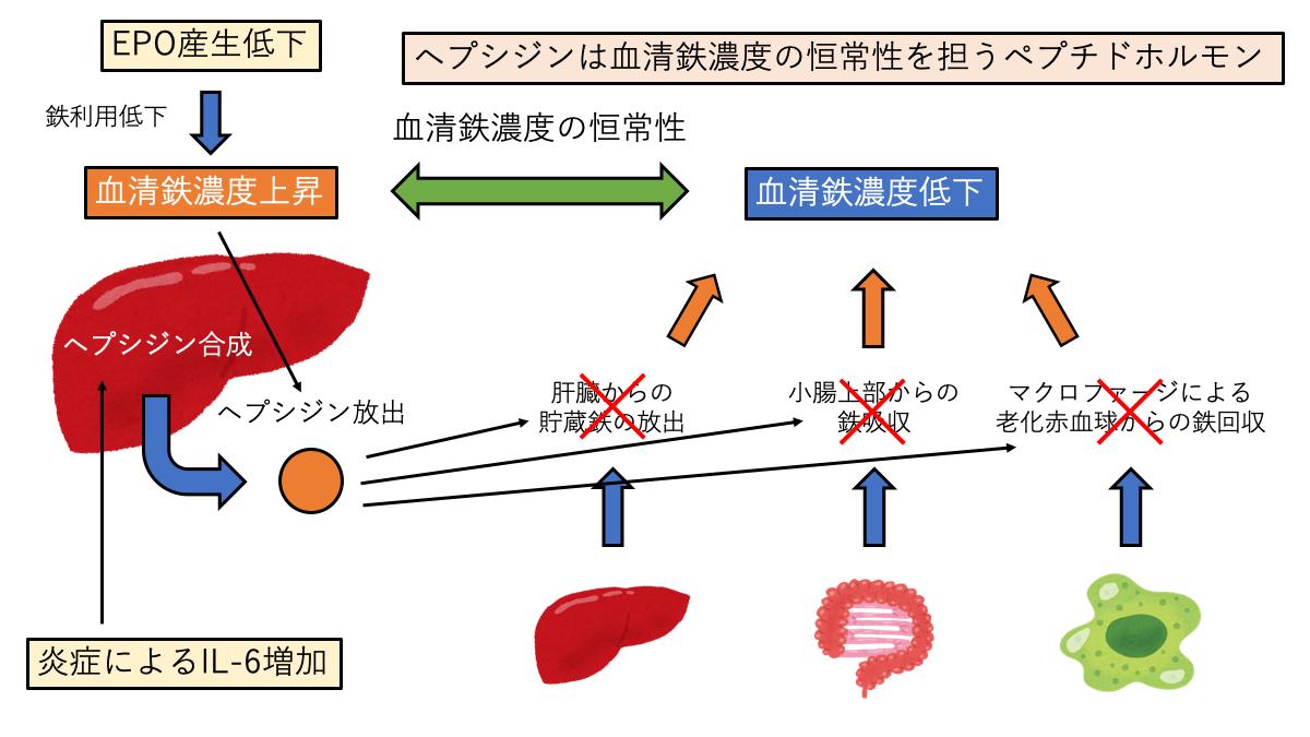 高ヘプシジン血症
