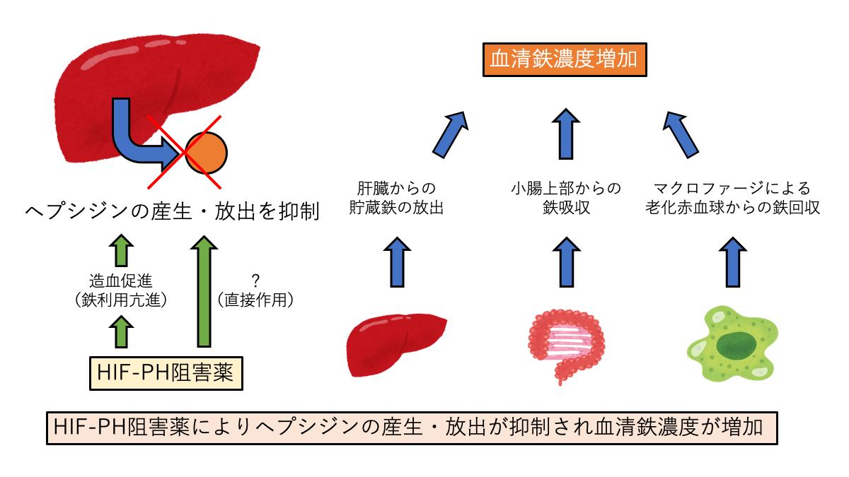 HIF-PHIによるヘプシジン産生・放出抑制