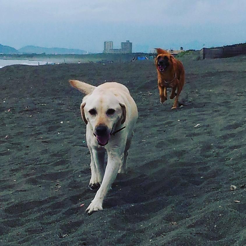 海辺を走る犬たち