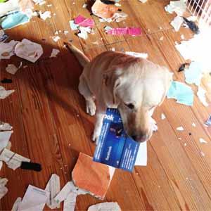 犬がいたずらをする理由