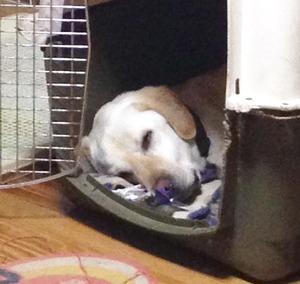 スヤスヤ眠る犬