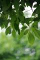 [御徒町][【obj】植物][スナップショット][DA L 50-200mm F4-5.6]デジタルの写真千葉皐月満つ