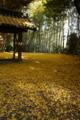 『京都新聞写真コンテスト ~黄色の絨毯〜』