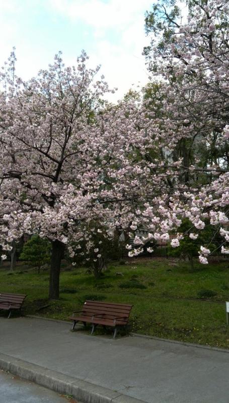 皇居周辺をぷらぷら。葉桜になっちゃった
