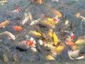 ゾンビっぽく押し寄せる鯉