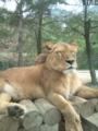 ライオン近い!!