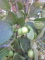 りんごの赤ちゃん