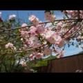 八重桜がきれいでした