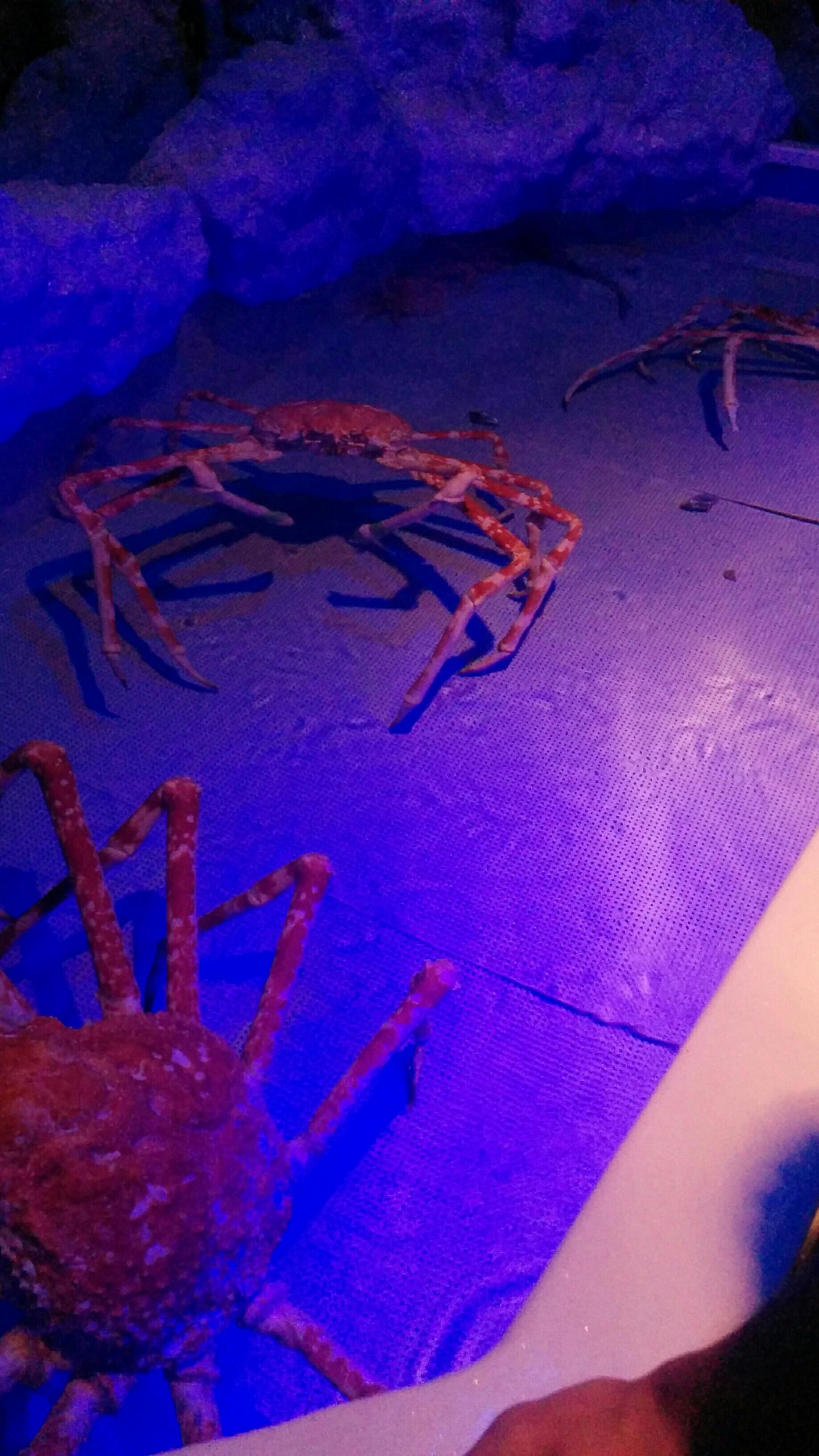 たぶん触れる大きな蟹