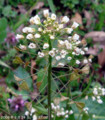 ペンペン草