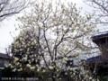 マグノリア木