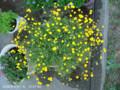 [花]ハナホタル
