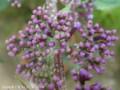 [花]ブットレア
