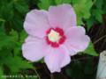 [花]ムクゲ