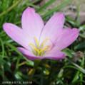 [花]クリスタルロゼア・ゼフィランサス