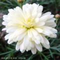 [花]マーガレット・サマーソング・ホワイト