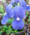 [花]宿根ネメシア・ホワイト