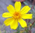 [花]宿根マリーゴールド