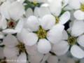 [花]ユキヤナギ