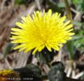 [花]ノゲシ