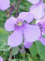 [花]ムラサキハナナ