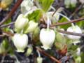 [花]ドウダンツツジ