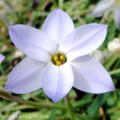 [花]ハナニラ