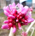 [花]ハナズオウ