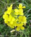 [花]ナノハナ