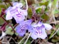 [花]カキドオシ