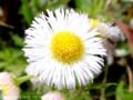 [花]ハルシオン