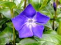 [花]ツルニチニチソウ