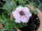 変わり咲きバーベナー
