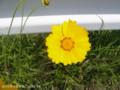 [花]キンケイギク