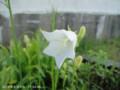 [花]モモバキキョウ