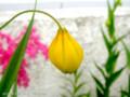 [花]チャイニーズランタン