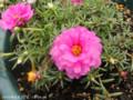 [花]マツバボタン