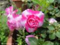 [花]バラ咲きインパチェンス