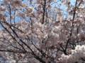[花]サクラ