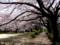 桜(桜川緑地)