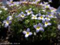 [花]ヒナグサ
