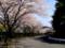 桜(平和台霊園)