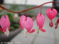 [花]タイツリソウ