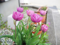 [花]バラ咲きチューリップ