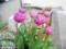 バラ咲きチューリップ