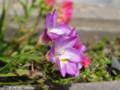 [花]フリージア